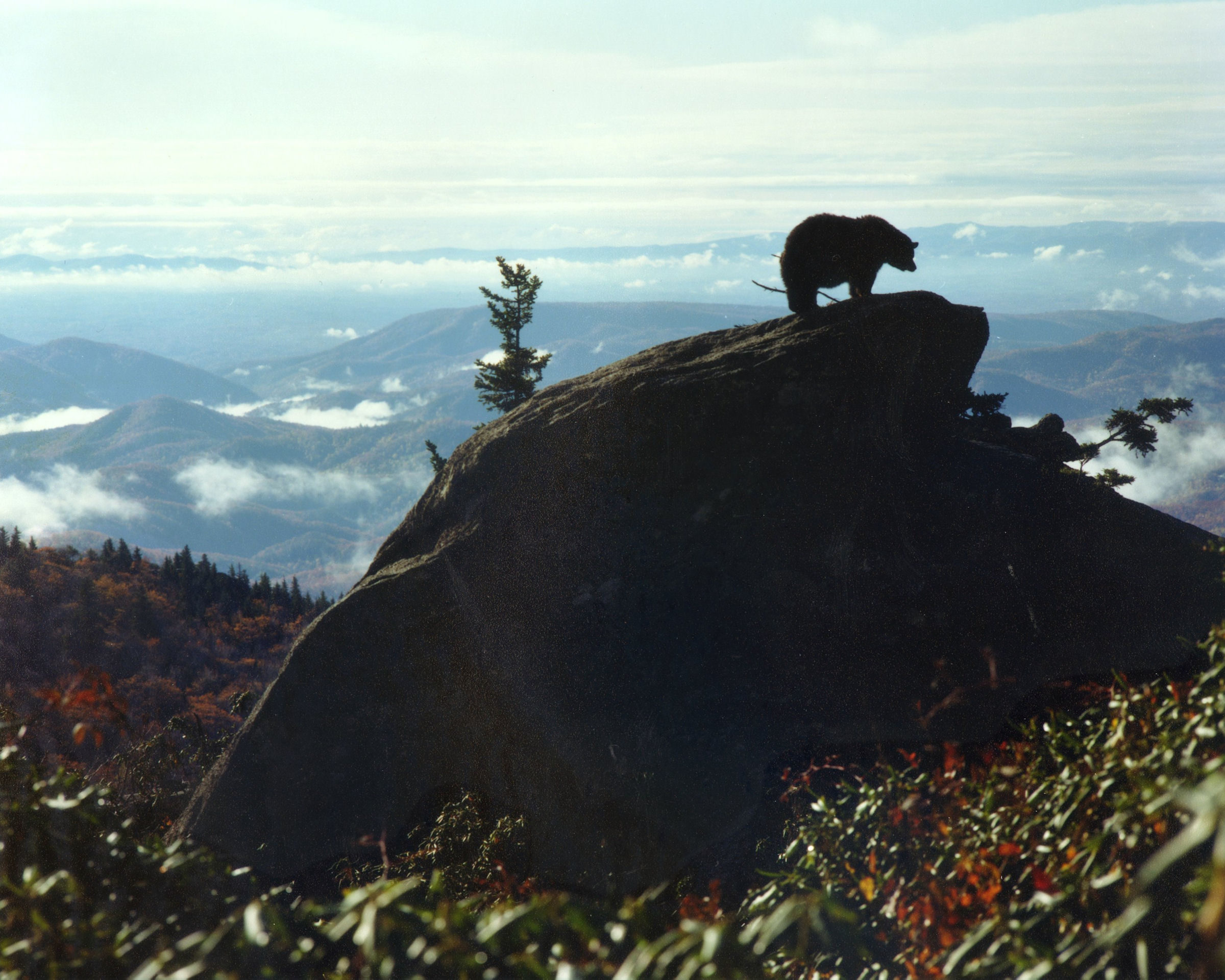 Vintage Photo by Former BRPA President Hugh Morton, Bear On Rock