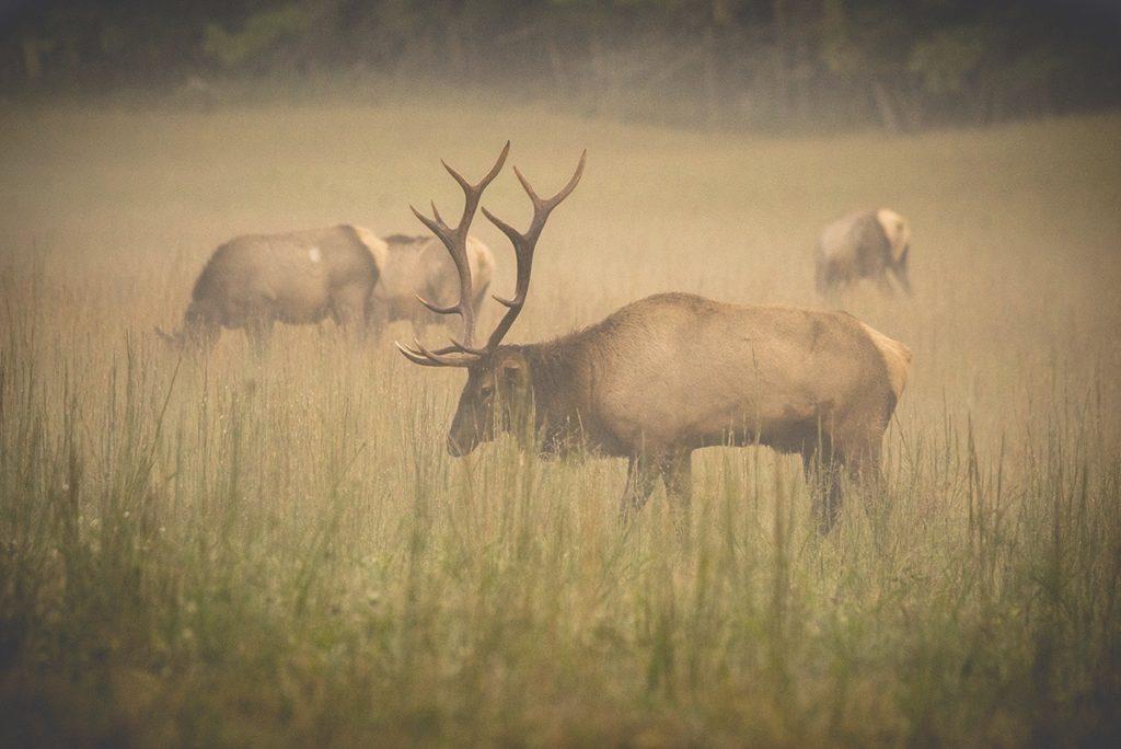 Visit NC Smokies: Haywood County Elk