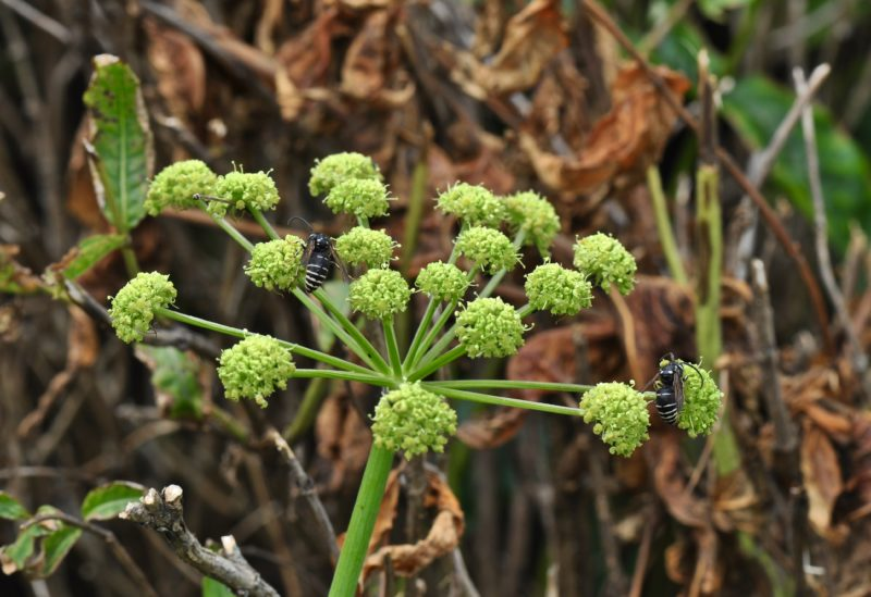 Angelica, Mountain Angelica, Filmy Angelica
