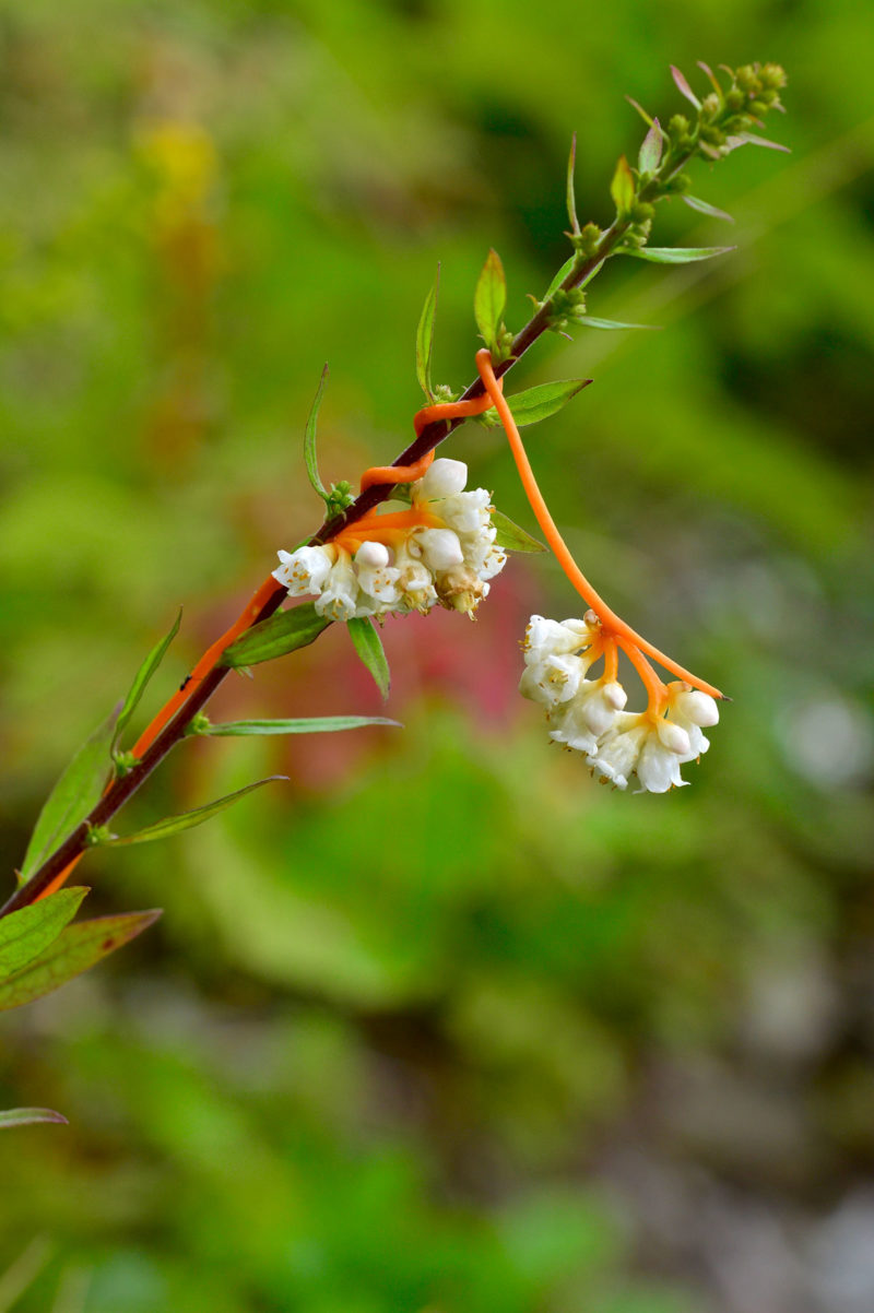 Dodder or Love Vine