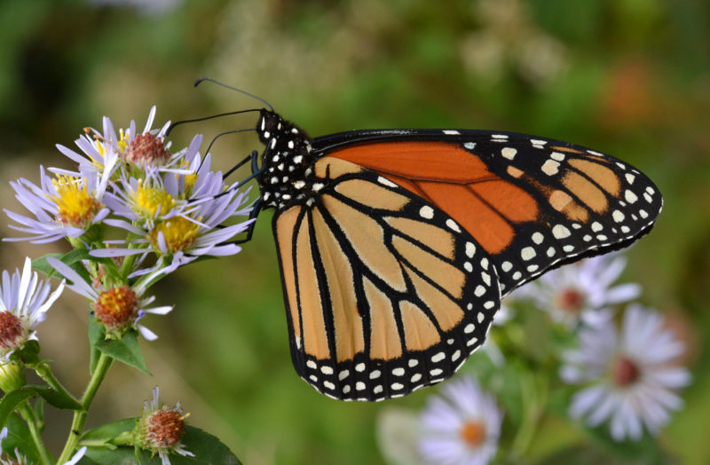 Monarchs feed on native plants.