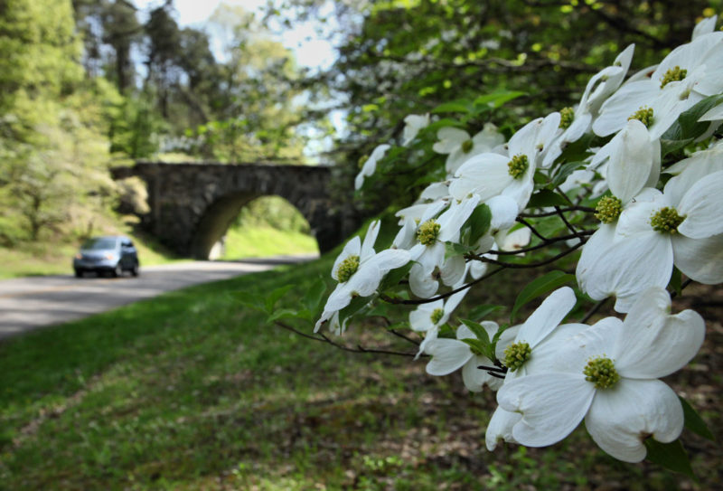 Dogwood near Parkway bridge