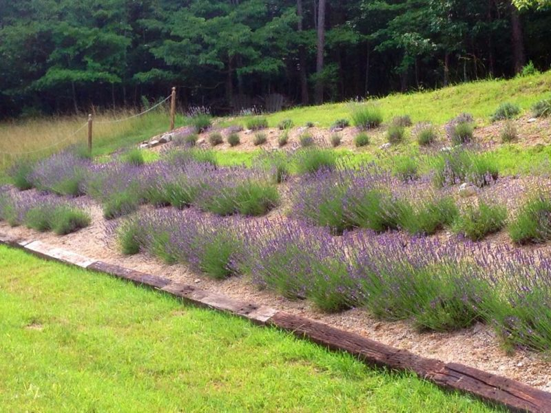 Beagle Ridge lavender