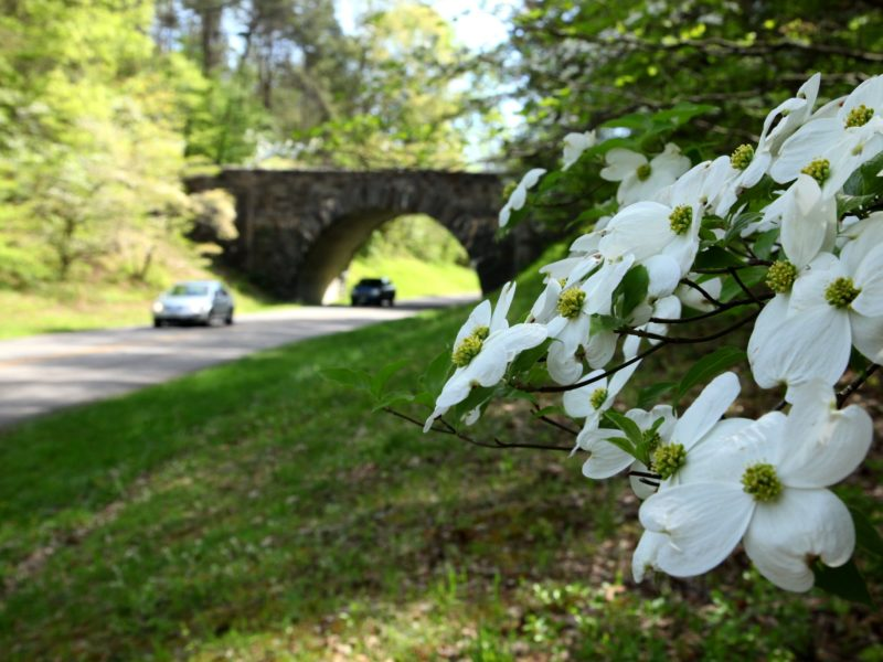 Dogwood Blooms Along Parkway