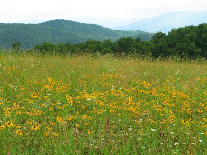 Field of Coneflower blooms